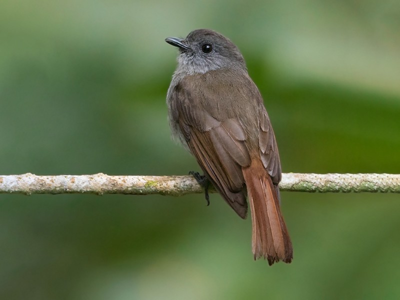 Flores Jungle-Flycatcher - Dubi Shapiro