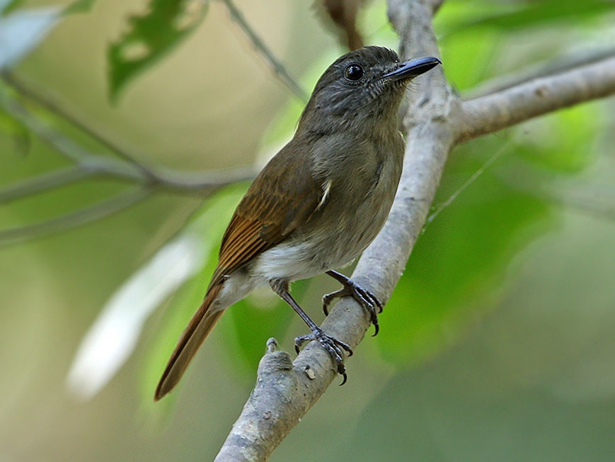 Flores Jungle-Flycatcher - James Eaton