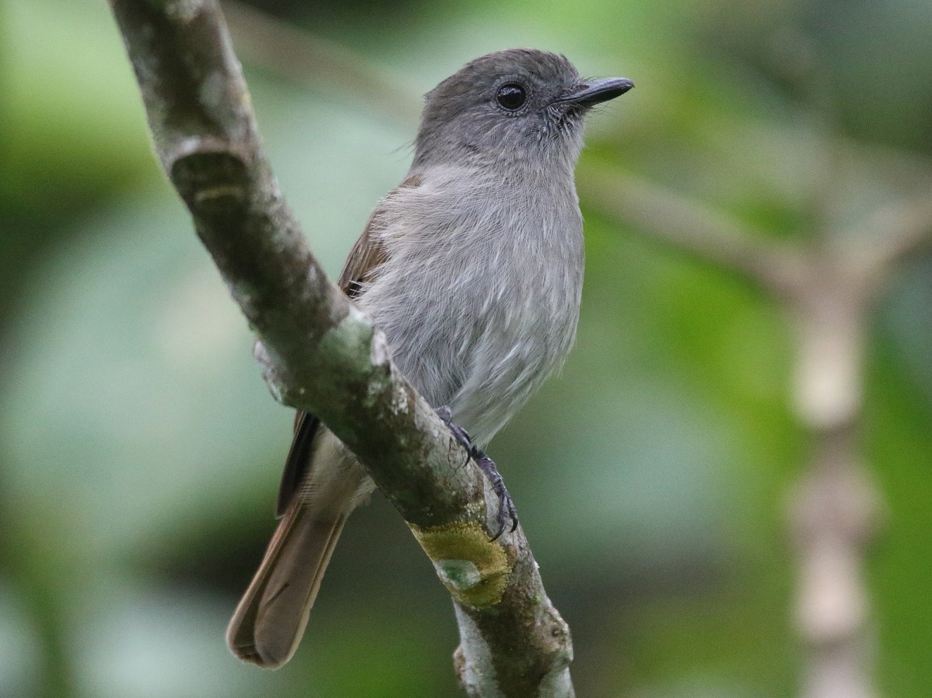Flores Jungle-Flycatcher - Yovie Jehabut