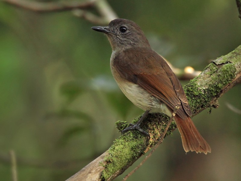 Flores Jungle-Flycatcher - Lars Petersson