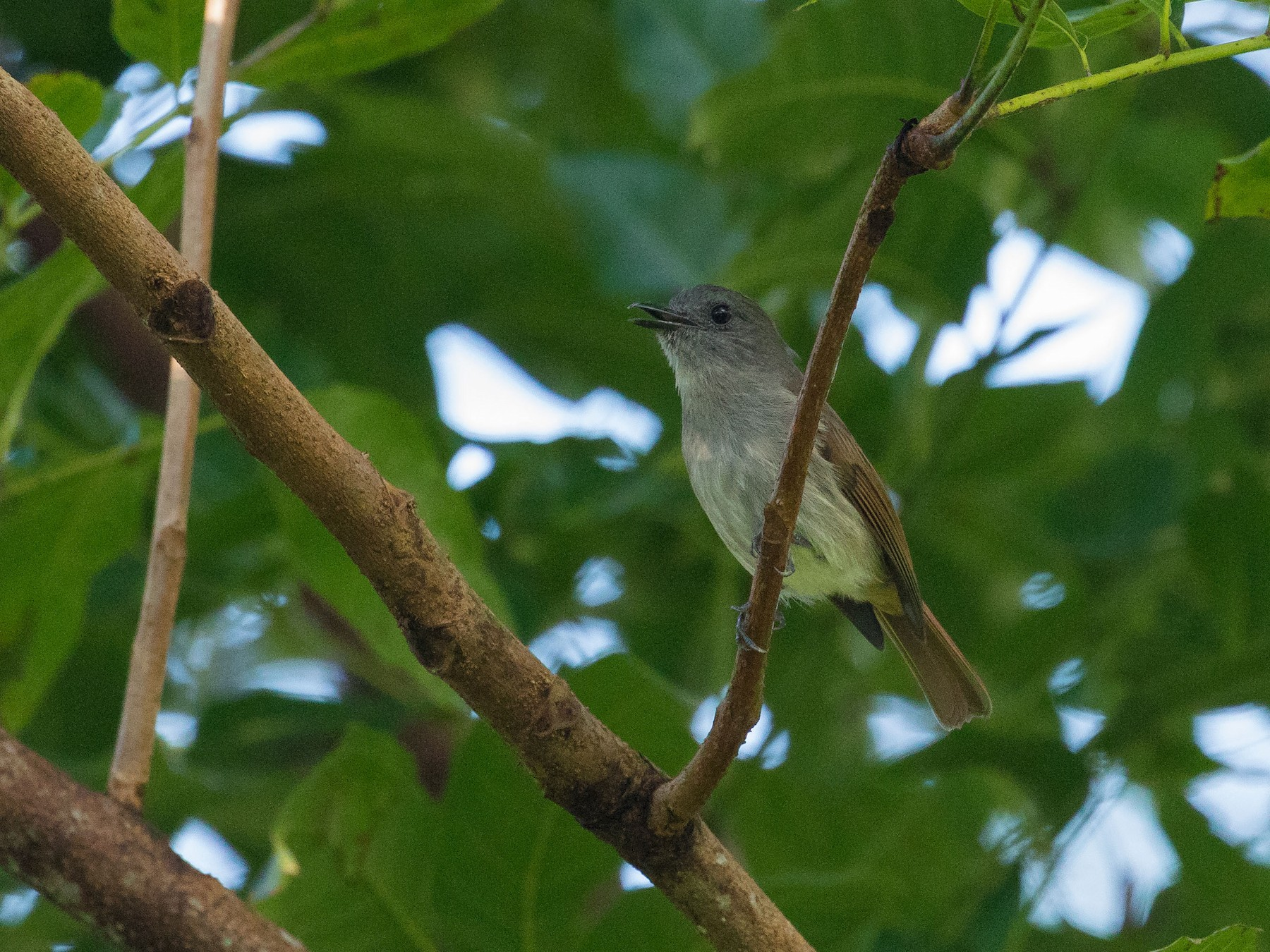 Flores Jungle-Flycatcher - Markus Craig