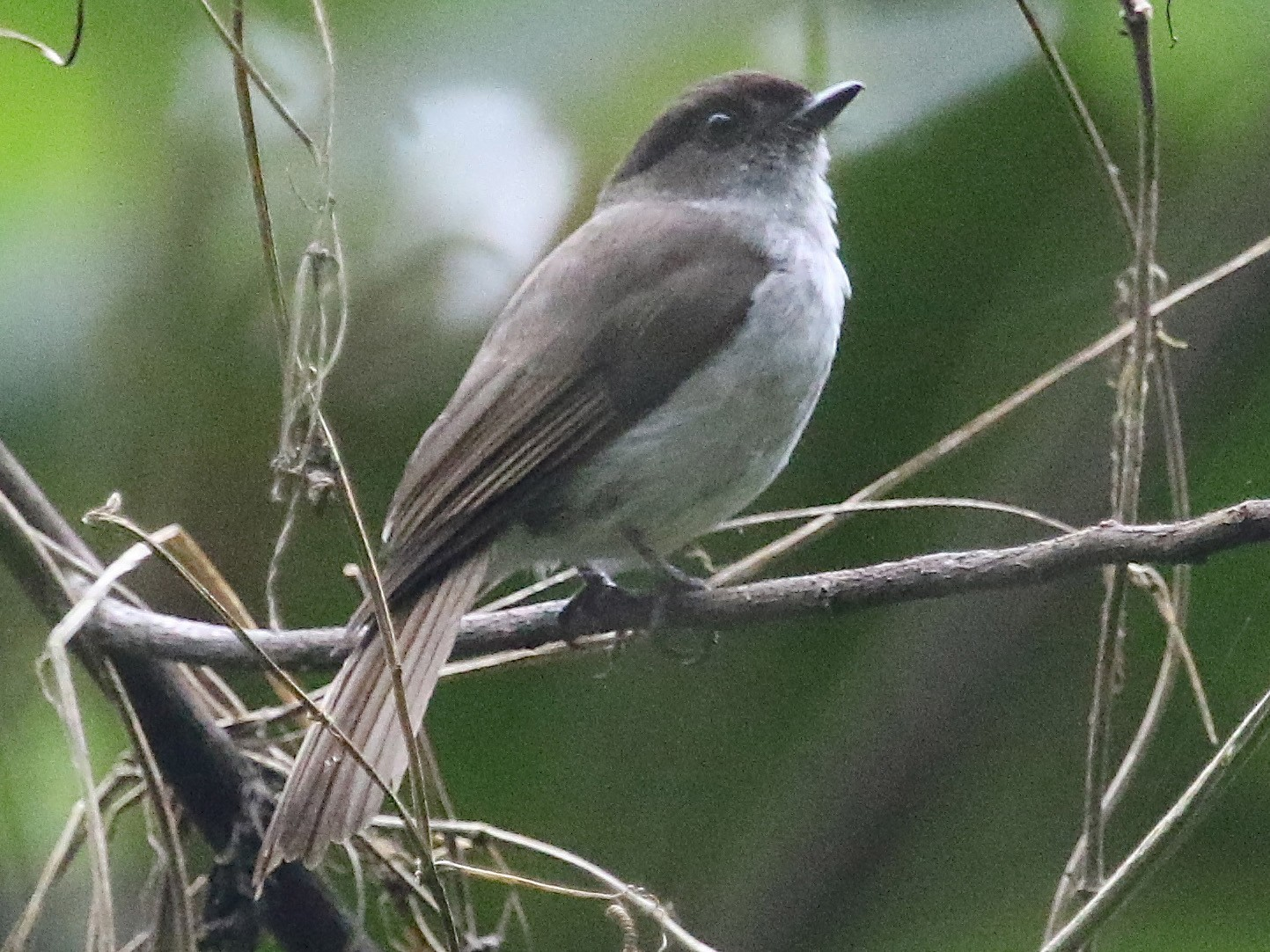 Buru Jungle-Flycatcher - Gil Ewing