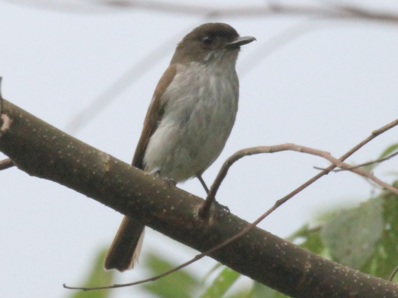Buru Jungle-Flycatcher - Charles Davies