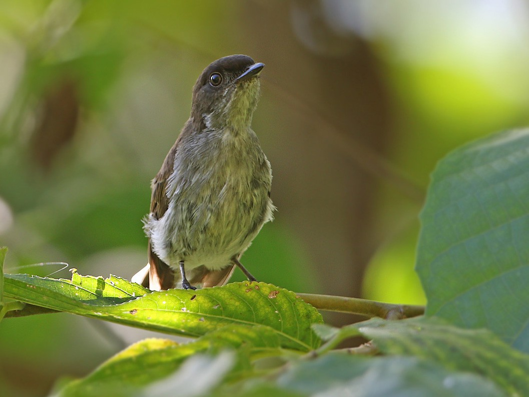 Buru Jungle-Flycatcher - James Eaton