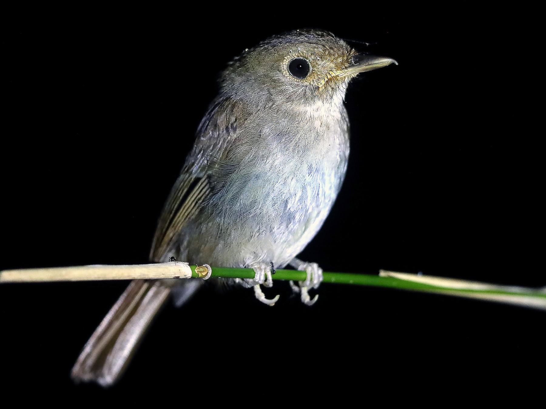 Sula Jungle-Flycatcher - Carlos Bocos