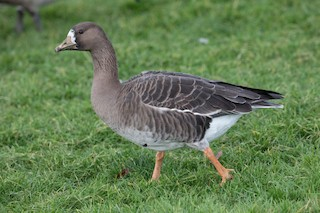 Greater White-fronted Goose, ML275669271
