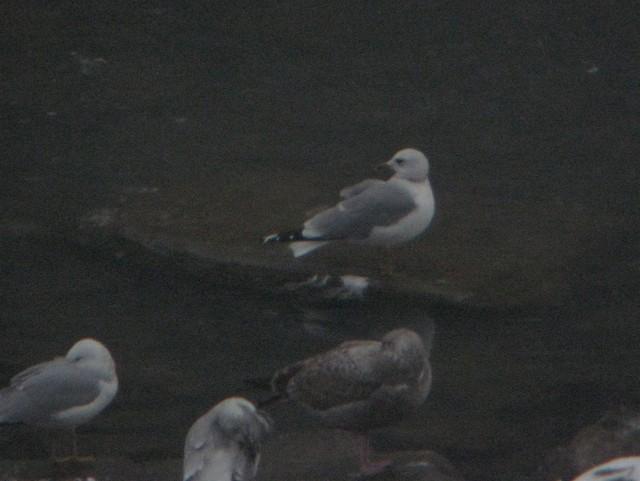 Common Gull (European)