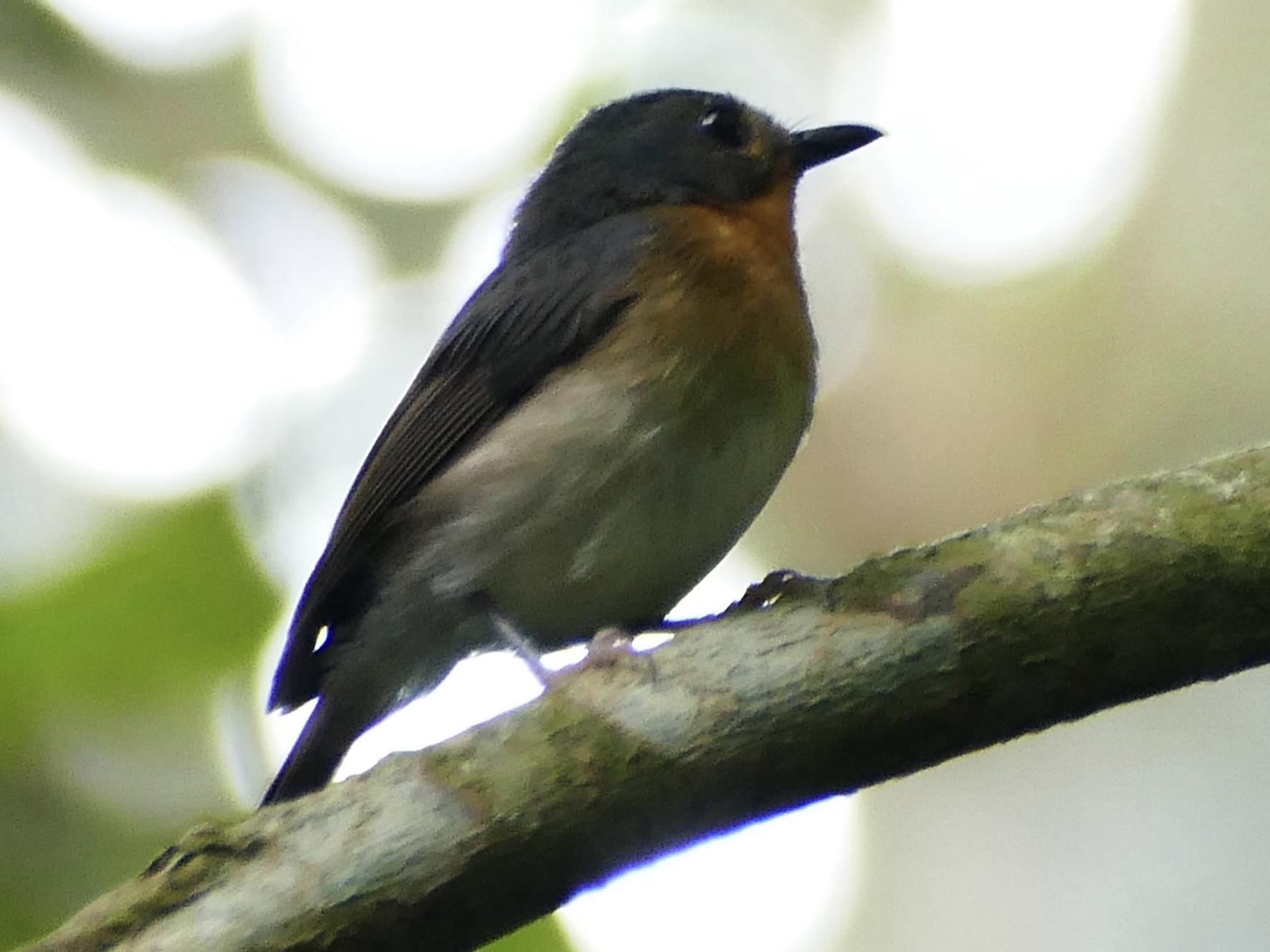 Rufous-throated Flycatcher - Peter Kaestner
