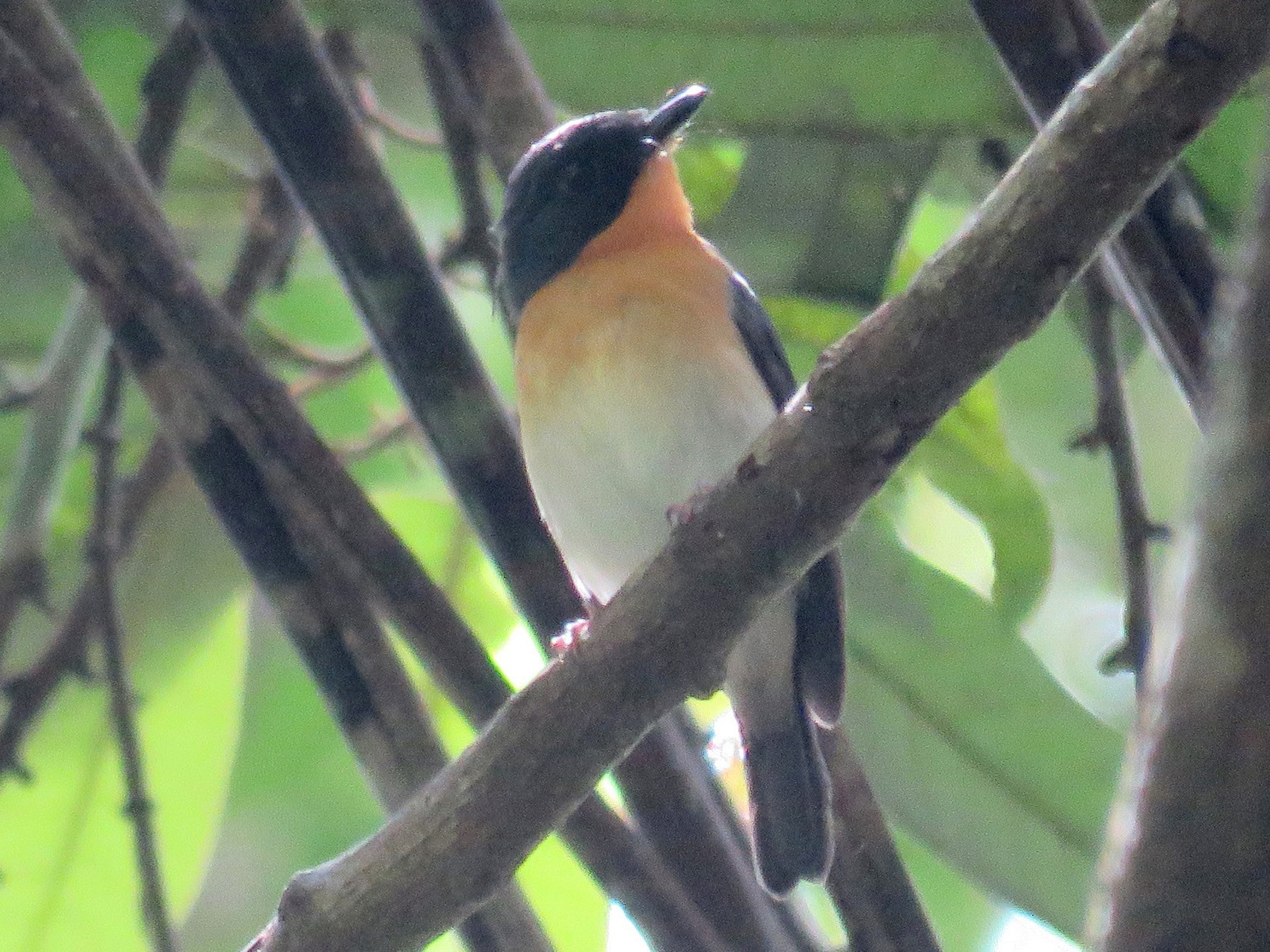 Rufous-throated Flycatcher - Timothy Forrester