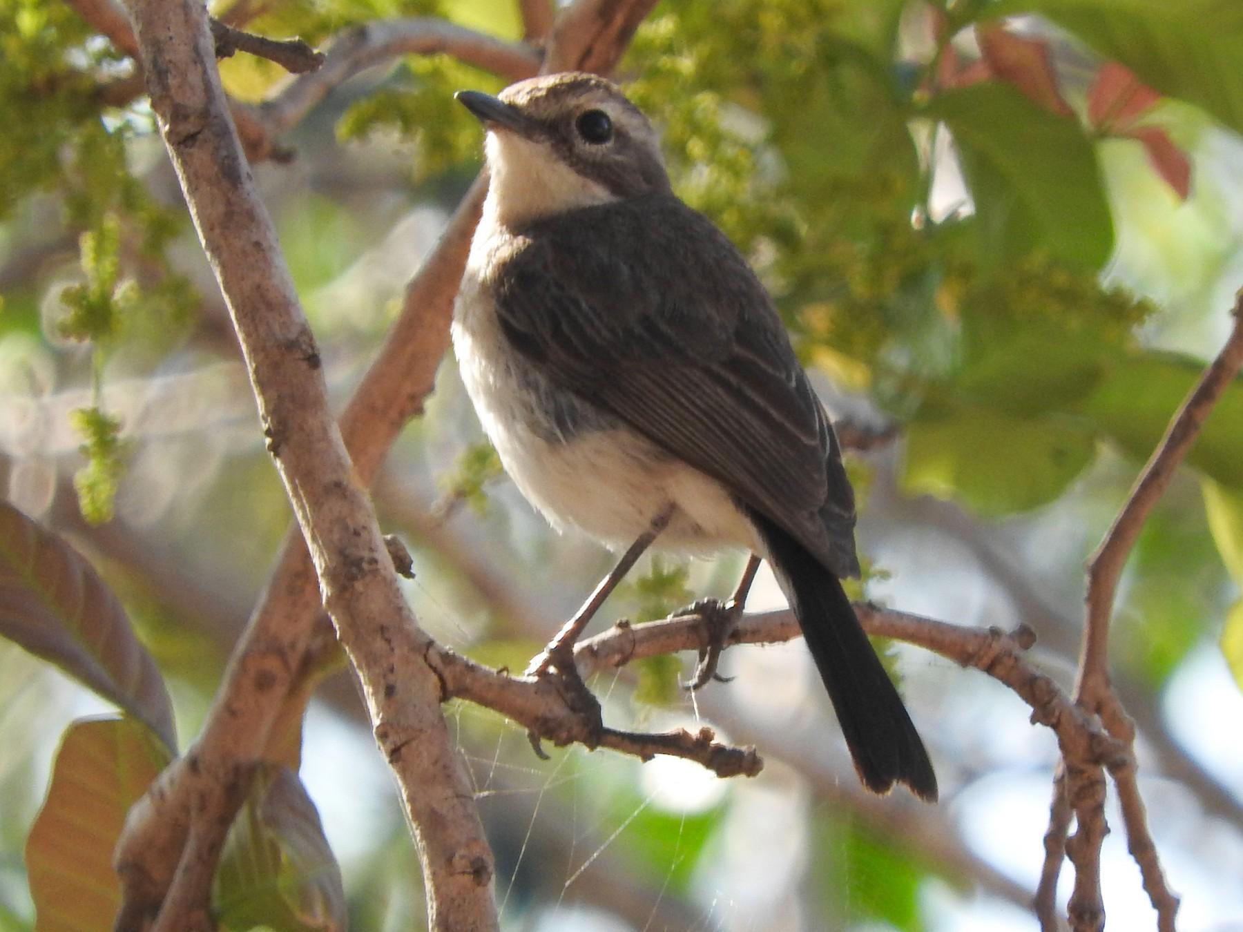 Timor Bushchat - Sandy Gayasih