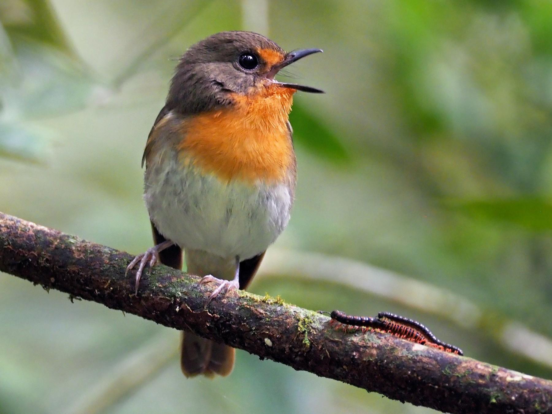 Lompobattang Flycatcher - Andrew Spencer