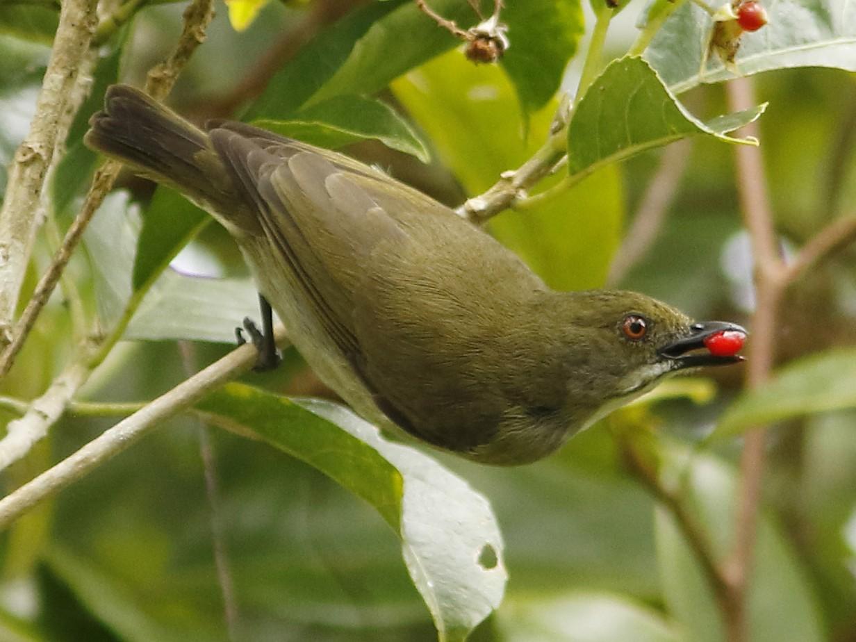 Golden-rumped Flowerpecker - David Beadle
