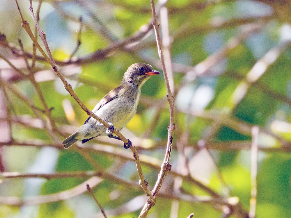 Golden-rumped Flowerpecker - Andy Walker - Birding Ecotours