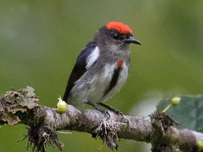 Crimson-crowned Flowerpecker - Sam Woods
