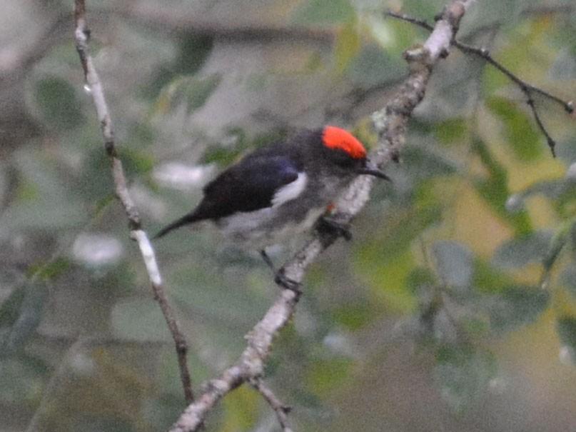 Crimson-crowned Flowerpecker - Cathy Pasterczyk
