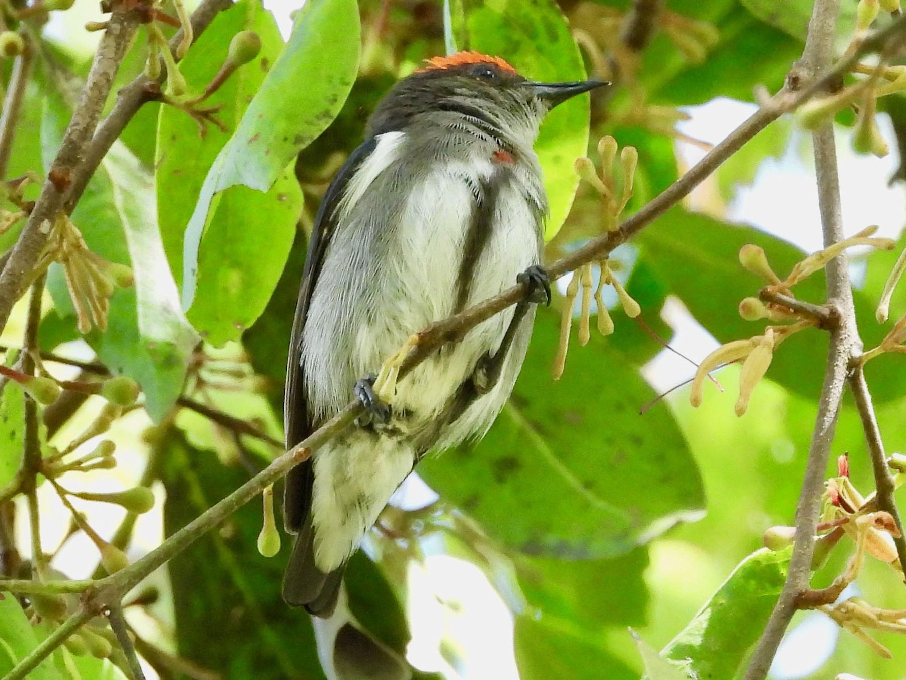 Crimson-crowned Flowerpecker - Gary Douglas