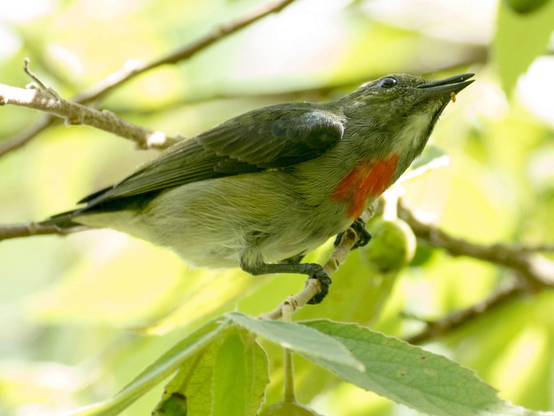 Olive-crowned Flowerpecker - Nayana Amin