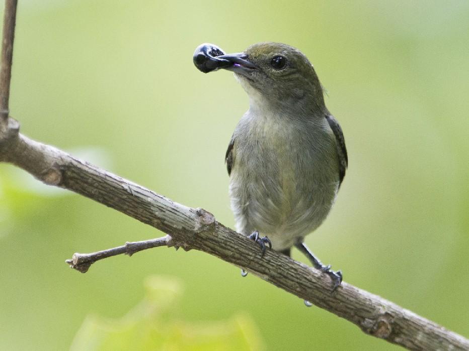 Olive-crowned Flowerpecker - Thierry NOGARO