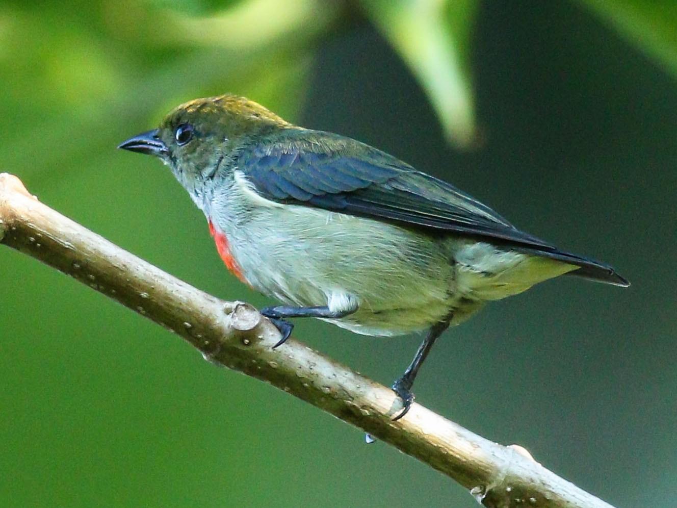 Olive-crowned Flowerpecker - Wilbur Goh Soon Kit