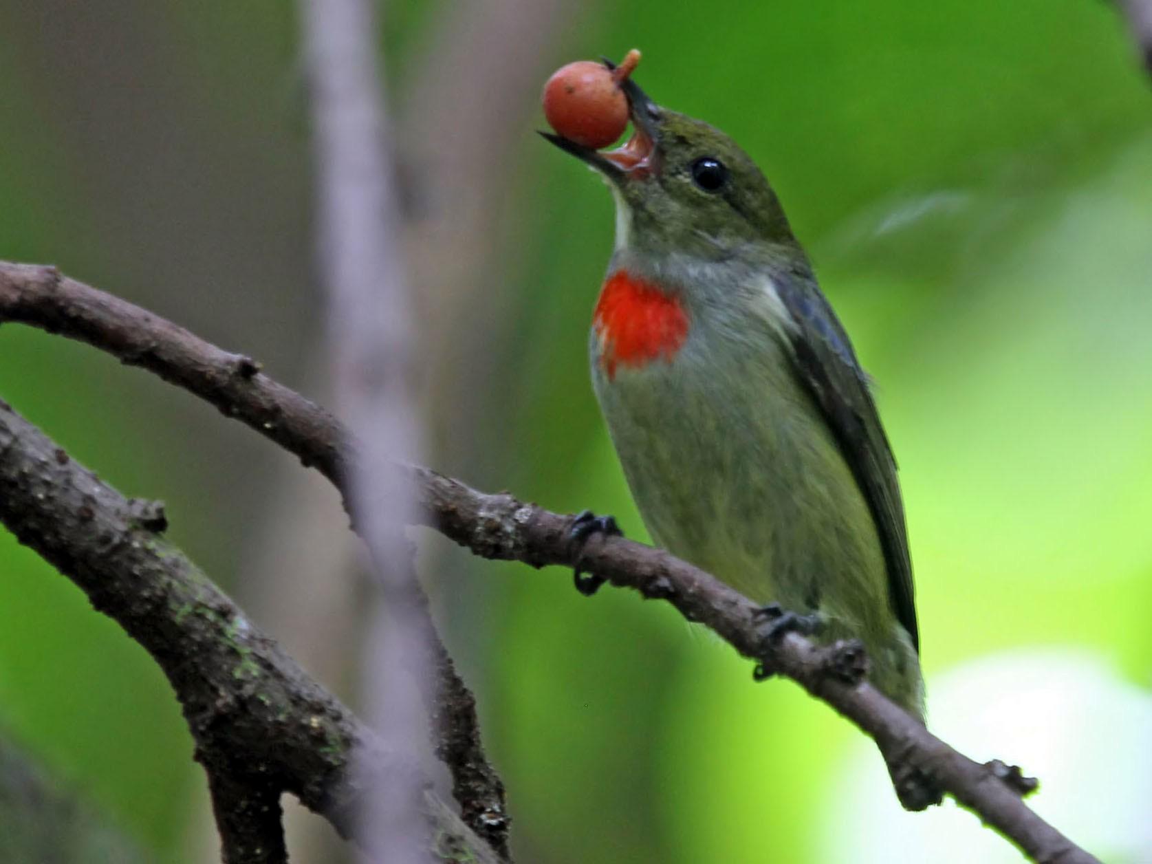 Olive-crowned Flowerpecker - Phillip Edwards