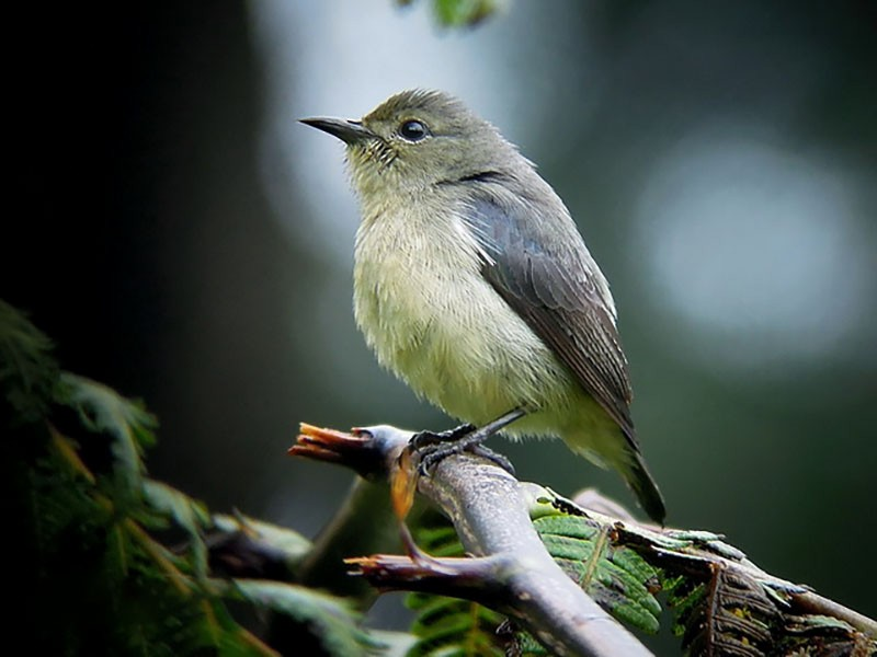 Blood-breasted Flowerpecker - Daisy O'Neill