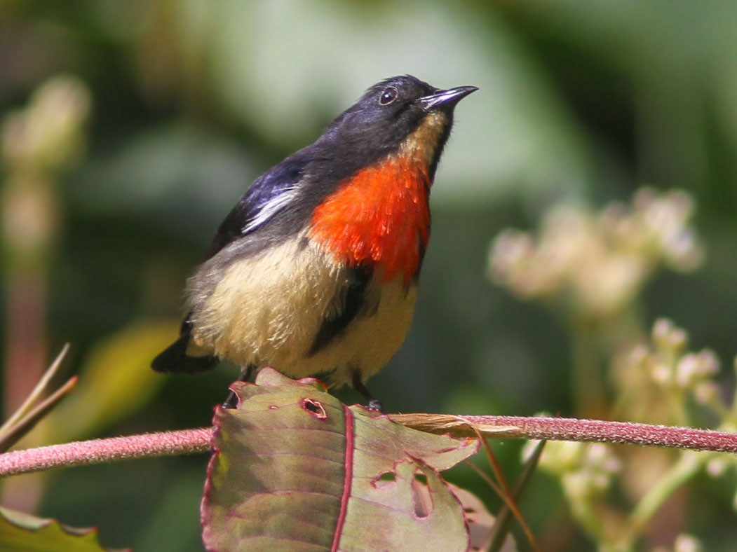 Blood-breasted Flowerpecker - Wade Strickland
