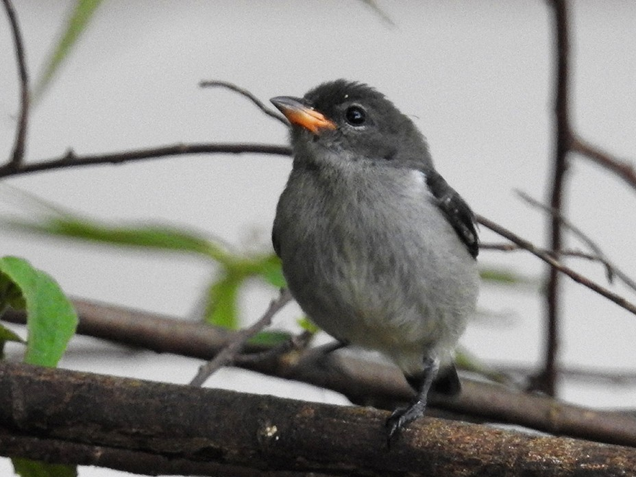 Blood-breasted Flowerpecker - Achmad Ridha Junaid
