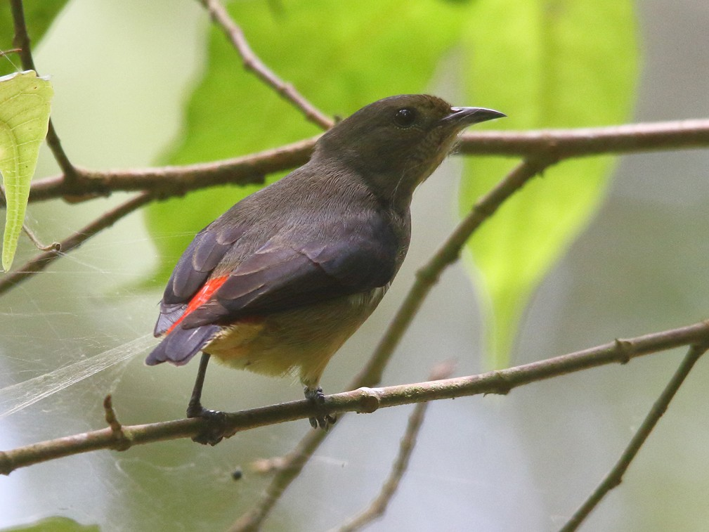 Blood-breasted Flowerpecker - Boas Emmanuel