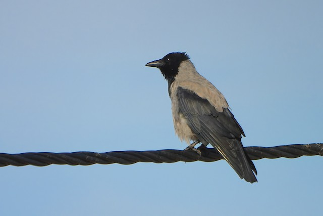 ©Rui Jorge - Hooded Crow