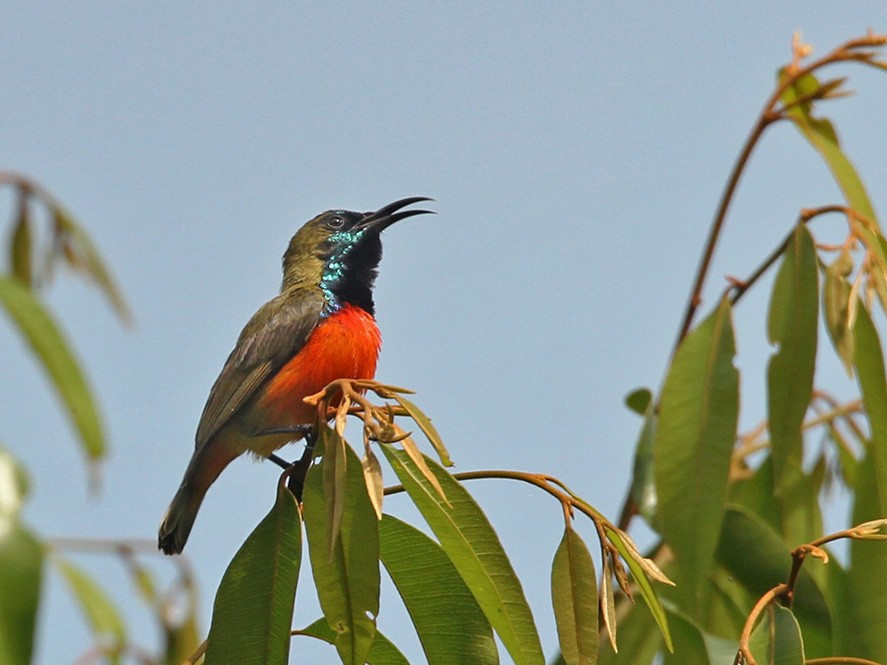Flame-breasted Sunbird - Lars Petersson
