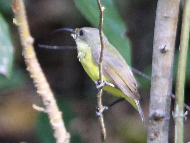 Apricot-breasted Sunbird - Gil Ewing