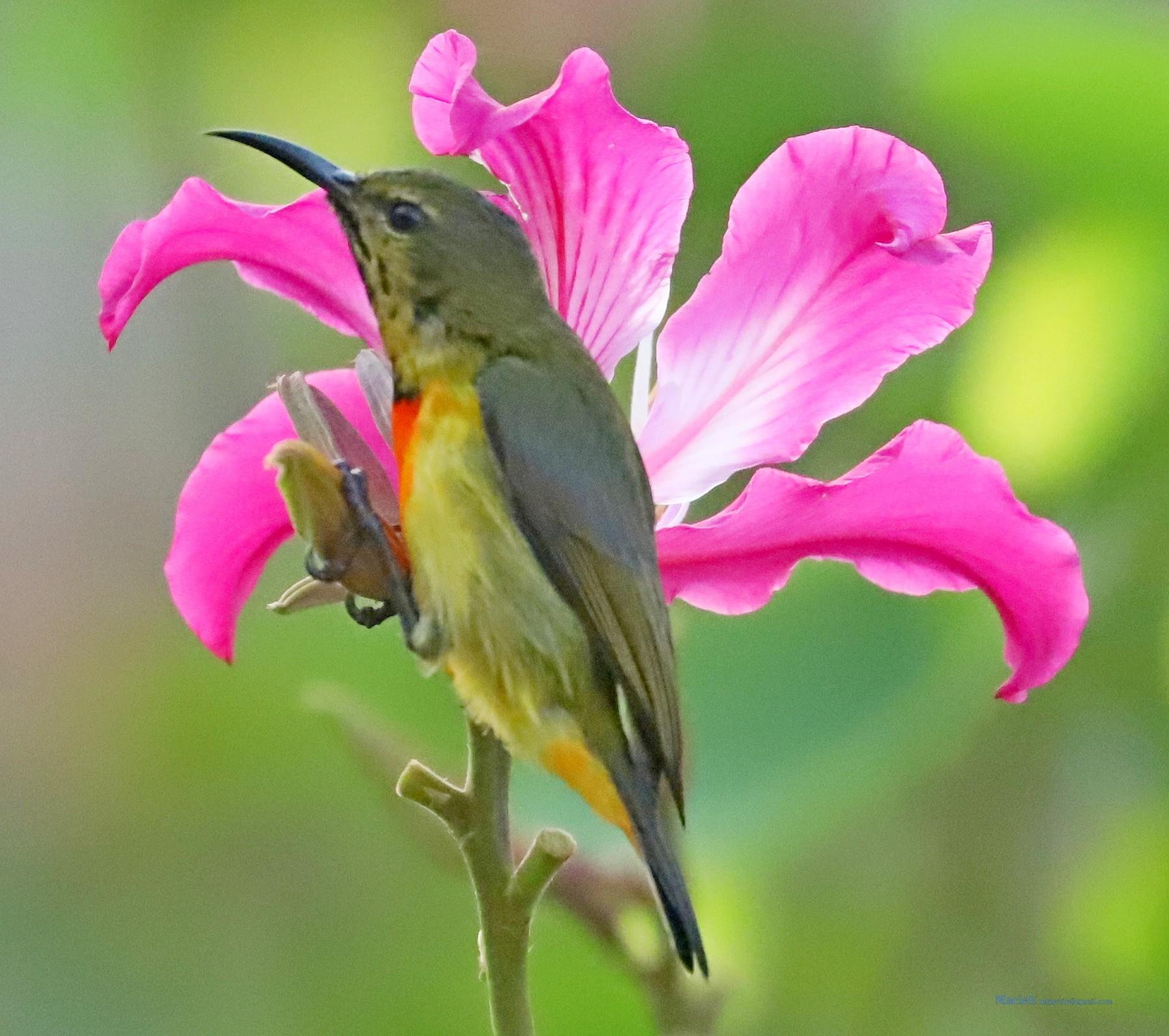 Flame-breasted Sunbird - Maciej  Kotlarski