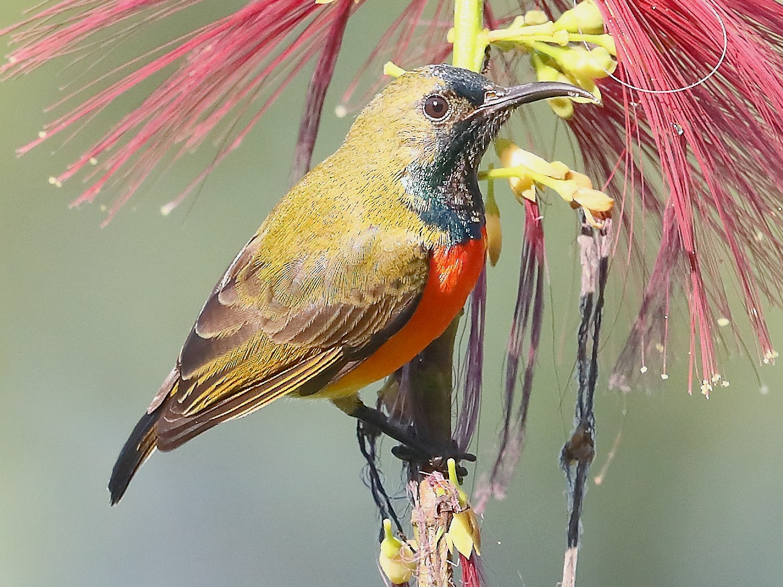 Flame-breasted Sunbird - Carlos Bocos