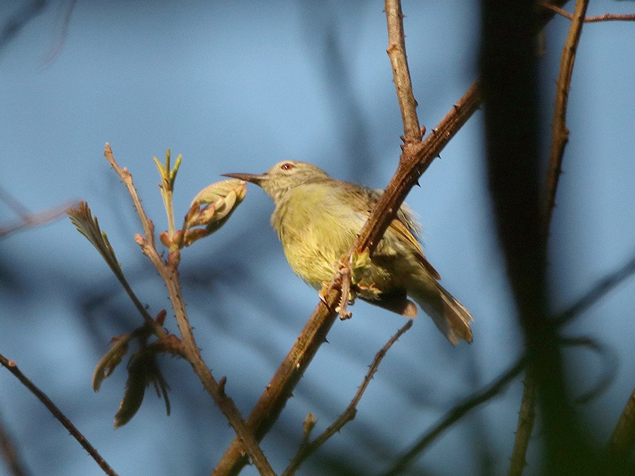 Apricot-breasted Sunbird - Pitta Tours
