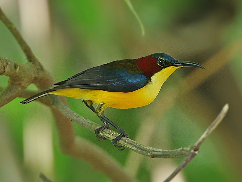 Elegant Sunbird - James Eaton