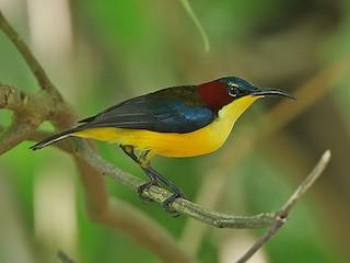 - Elegant Sunbird