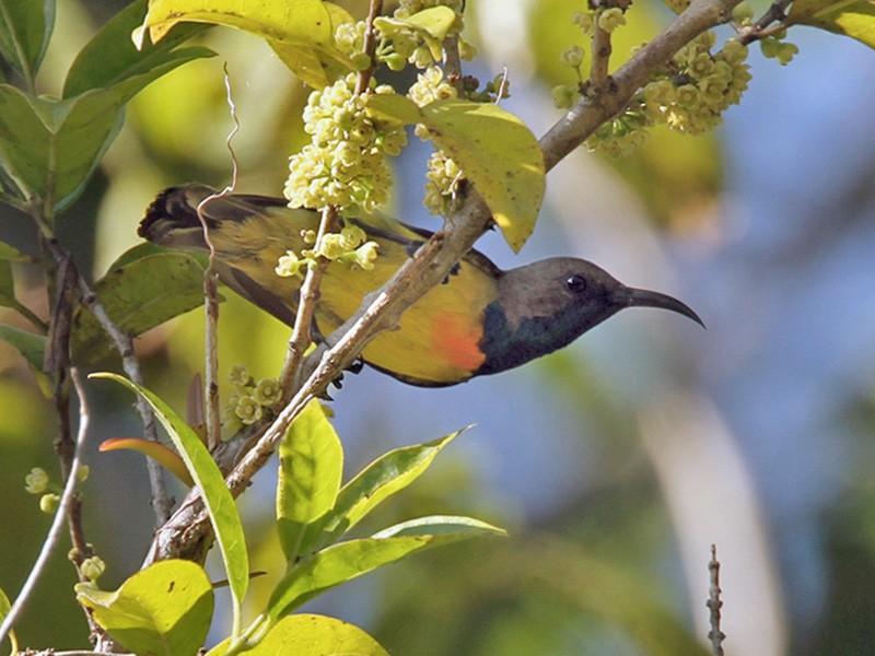 Burung Madu Sumba Ebird