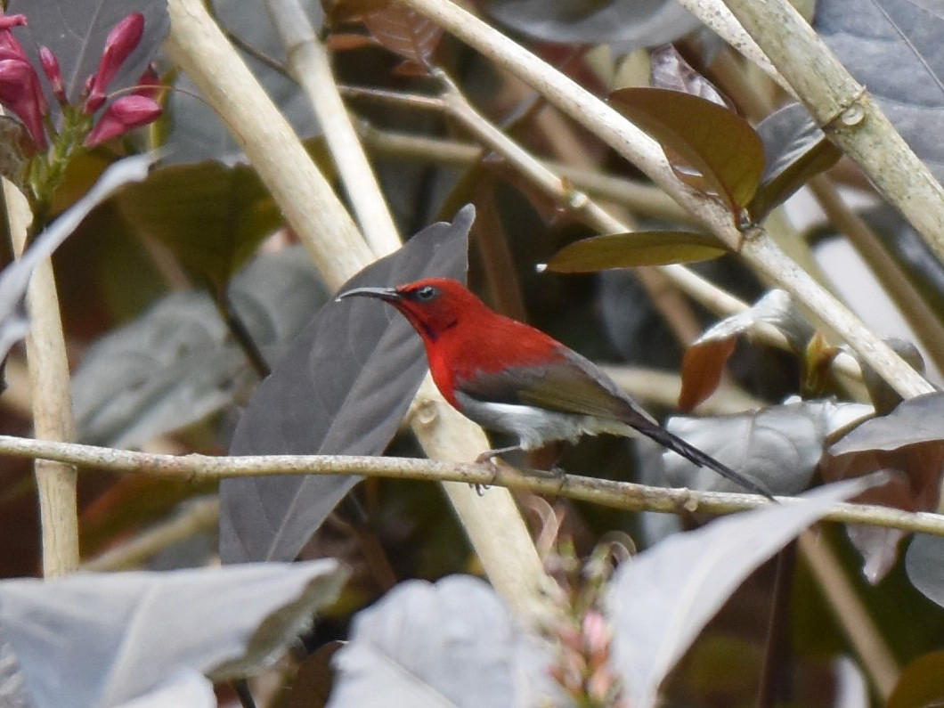 Javan Sunbird - T Norris