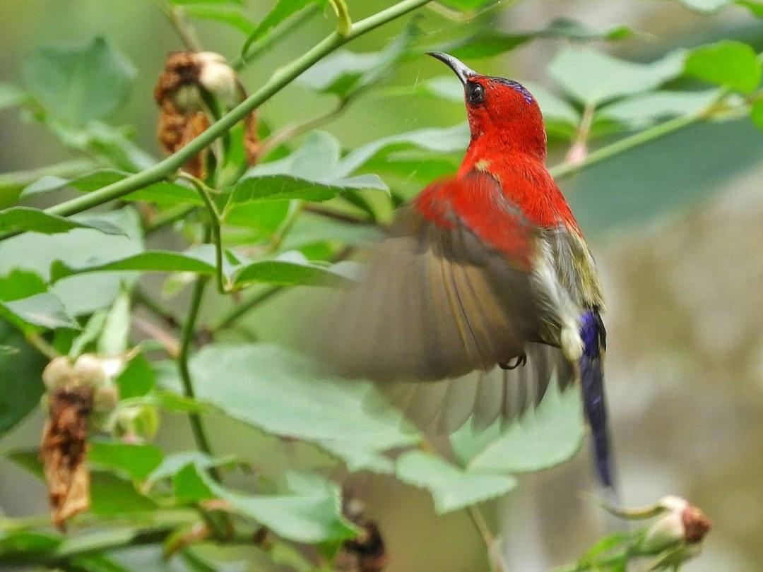 Javan Sunbird - Muhammad Bilal Yogaswara