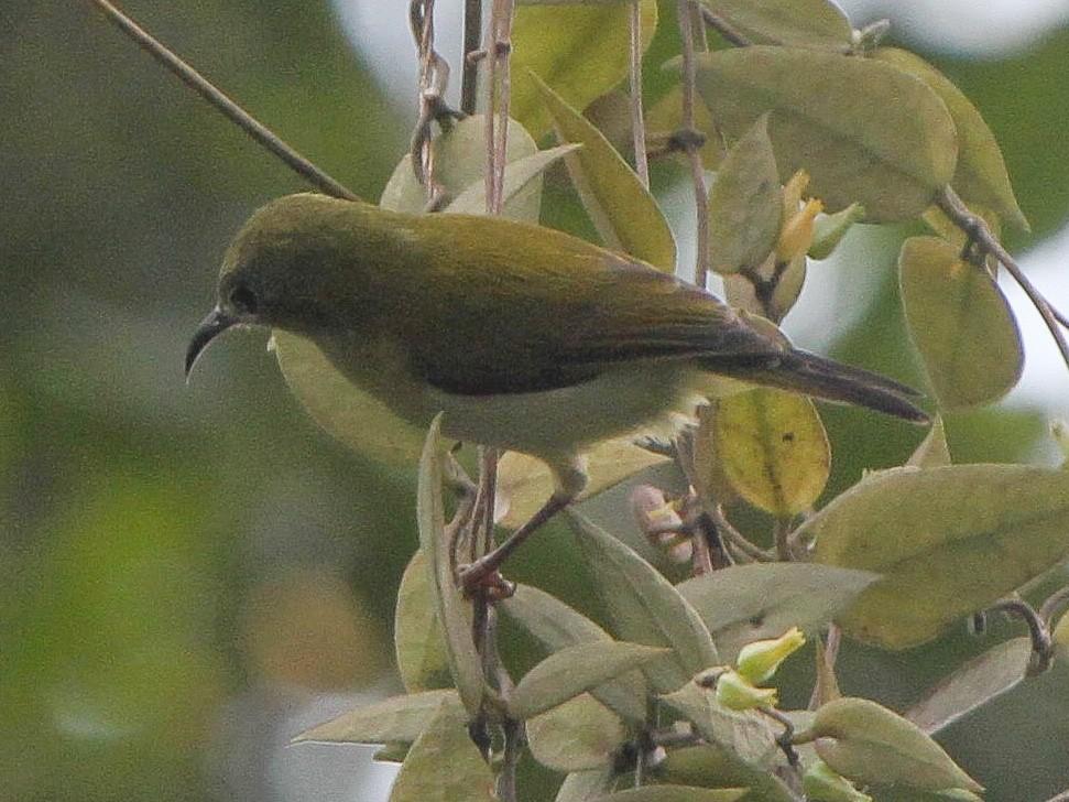 Javan Sunbird - Pam Rasmussen