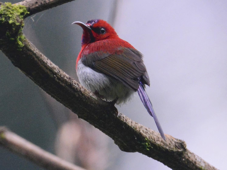Javan Sunbird - Ari Noviyono