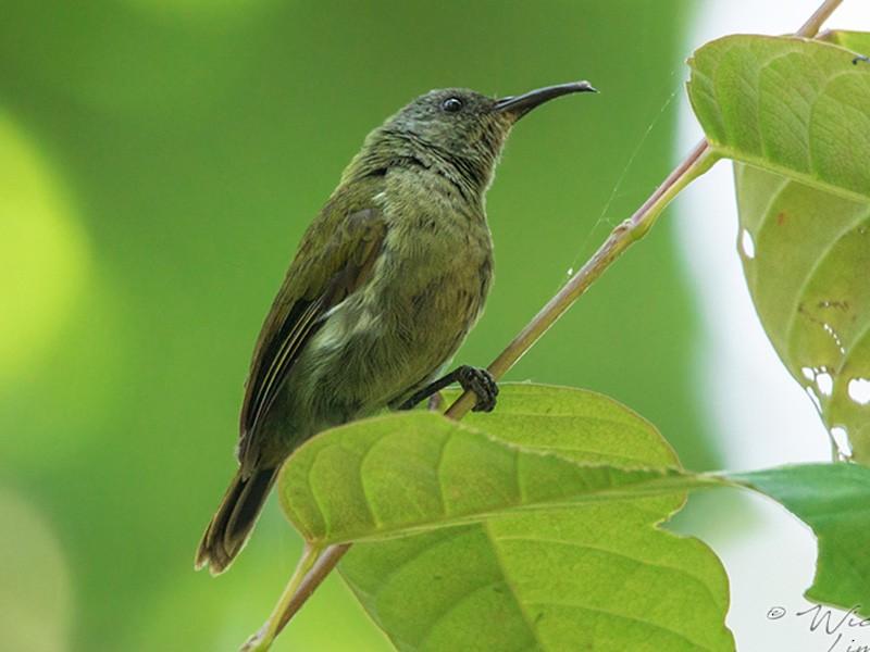 White-flanked Sunbird - Wich'yanan Limparungpatthanakij