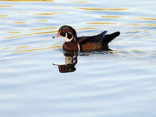 Wood Duck, ML276109951