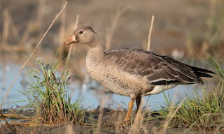 Greater White-fronted Goose (Western), ML276177341