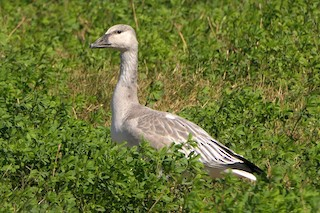 Snow Goose, ML276178271