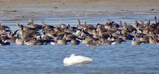 Cackling Goose, ML276258101