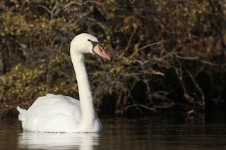 Mute Swan, ML27670191