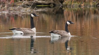 Canada Goose, ML276757731