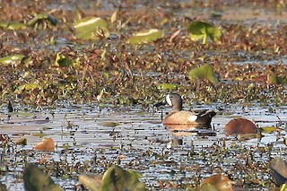 Blue-winged Teal, ML27676431