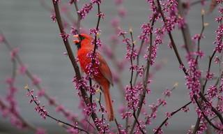 - Northern Cardinal